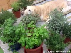 香草狗王子-大寶